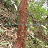 供应血皮槭苗木