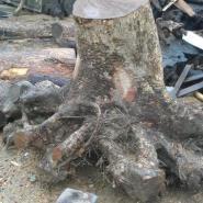 广西桂林小叶楠木大树根价格图片