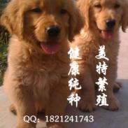 广州金毛犬价格金毛寻回犬好不好养图片