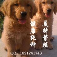 广州纯种金毛犬广州金毛价格图片