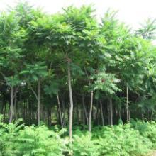 火炬树苗/火炬树品种尽在山西林业科协苗圃基地图片