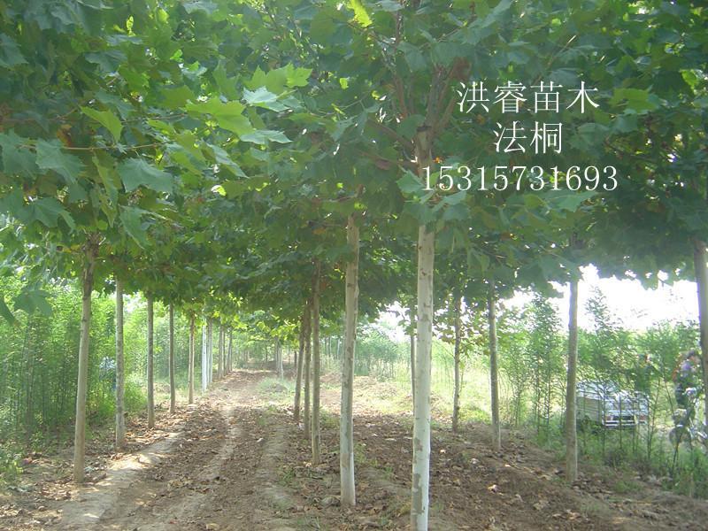 山东法桐种植批发商