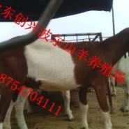 河南省波尔山羊品种好图片