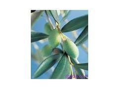 供應福建橄榄葉提取物橄榄苦甙