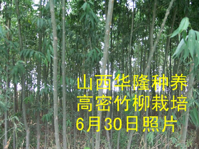 供应竹柳3号,竹柳