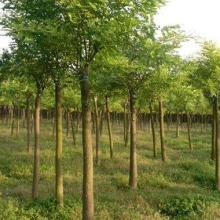 供应用于园林绿化的金叶国槐河北苗圃优质批发数量所图片
