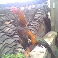 斗鸡-产蛋繁殖