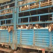 山东的波尔山羊小羊苗是怎么卖的图片