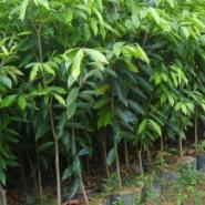 白木香苗供应图片
