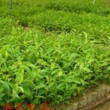 供应沉香袋苗;沉香袋苗价格;沉香袋苗批发批发