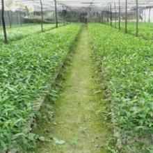 供应 经济作物白木香也叫沉香供苗商