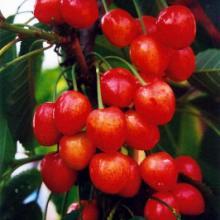 供应樱桃种子,樱桃种子价格,樱桃种子哪里买,山东优质樱桃种子经销商图片