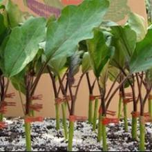 【指导】茄子种苗培育/种苗技术要求/种苗批发价/盛丰