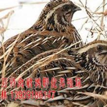 供应鹌鹑苗/鹌鹑蛋/黄羽鹌鹑/武陟县特禽鹌鹑孵化养殖场