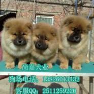 广州哪里有纯种松狮犬卖图片