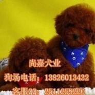 广州什么地方可以买到纯种贵宾狗图片