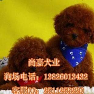 广州哪里可以买到纯种健康的泰迪图片