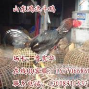 斗鸡养殖场越南斗鸡中国斗鸡图片