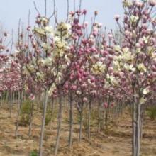 供应玉兰树价格