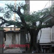 结构假树的处理图片