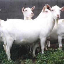 供应春季牛羊繁殖