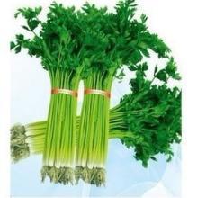 供应黄嫩实心小香芹菜种子-植株长势强健 较直立 栽培容易