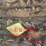 山东烟薯25种植基地图片