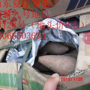 山东济薯12地瓜批发商图片