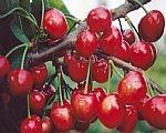供应2012年最新樱桃种子1-5年樱桃苗樱桃苗基地最新樱桃苗价格