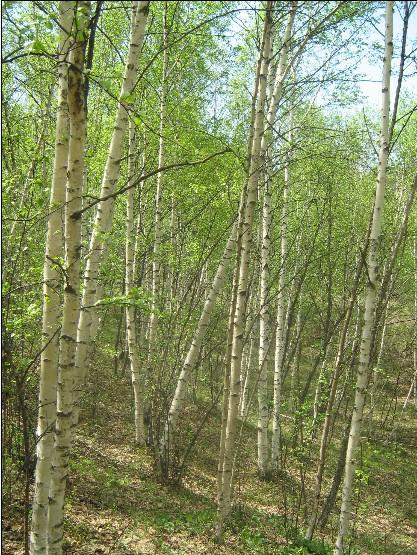 供应双滦白桦树批发;双滦白桦树报价;双滦白桦树种植基地;承德山地苗木
