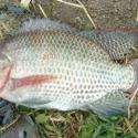 南充罗非鱼苗商品罗非鱼图片