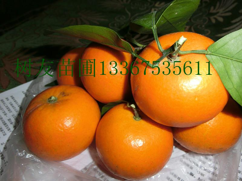 供应优质沃柑苗接惠图片