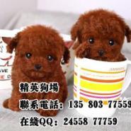 深圳哪里有卖宠物泰迪狗图片