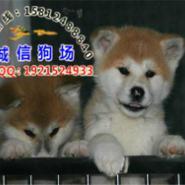 广州秋田犬边度有卖图片