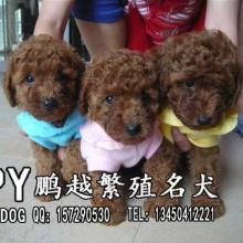 供应贵宾犬 广州哪里有卖纯种贵宾犬 广州哪里能买到纯种贵宾犬