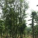 安徽女贞造型树种植基地图片
