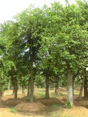 供应安徽乌桕苗木种植基地,安徽乌桕苗木批发商,安徽乌桕苗木供应