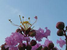成都紫薇花供应 成都蓝花楹批发 成都杜英花供应 成都桂花供应 成都紫薇花报价 成都紫薇花生产地  成都紫薇花价格批发