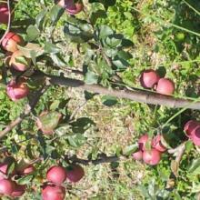 供应用于新鲜水果的新鲜盐源苹果批发/盐源苹果供应商/苹果批发价格批发