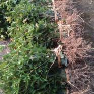 供应金桂小苗基地批发70-100cm金桂小苗 浓香型庭院植物自产自销