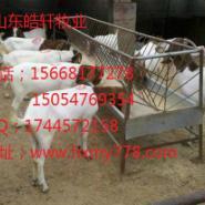 小尾寒羊杜泊绵羊30斤波尔山羊小羊图片