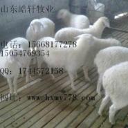 安达波尔山羊幼羊价格多少一斤图片
