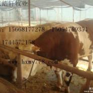 遵义有大型肉牛养殖场吗图片