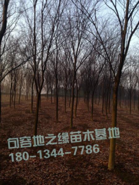 供应3公分红榉树价格图片