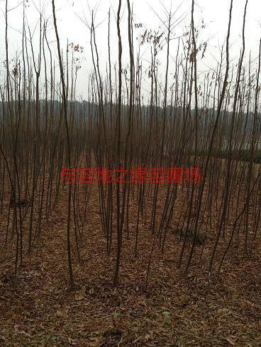 供应7公分黄山栾树基地图片