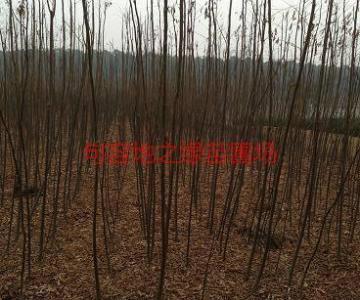 供应3公分栾树价格,江苏3公分栾树价格图片