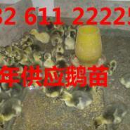 扬州大白鹅浙东白鹅苗图片