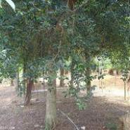 小叶榕树苗图片