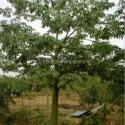 供应广东大腹木棉树苗,大腹木棉树苗种植基地,大腹木棉树苗最新报价