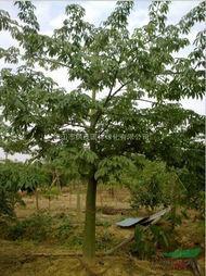 大腹木棉树苗图片